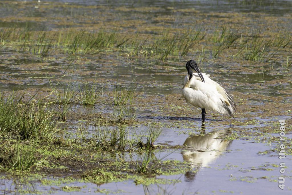 Beim Ordnen des Gefieders - Schwarzer Ibis - Yala Nationalpark