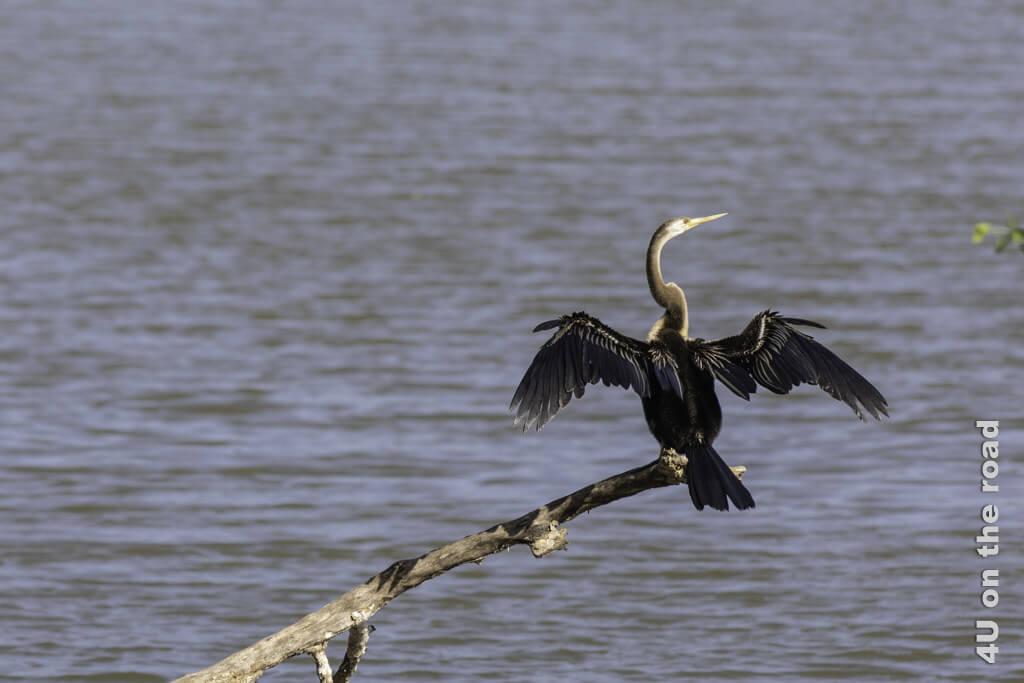Schlangenhalsvogel - einmal trocknen bitte - Yala Nationalpark