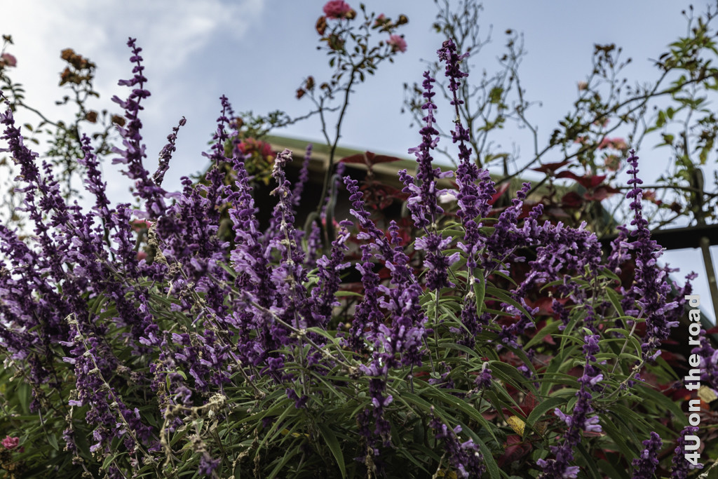 Lavendel und Rosen vor dem Tea Plant Hotel