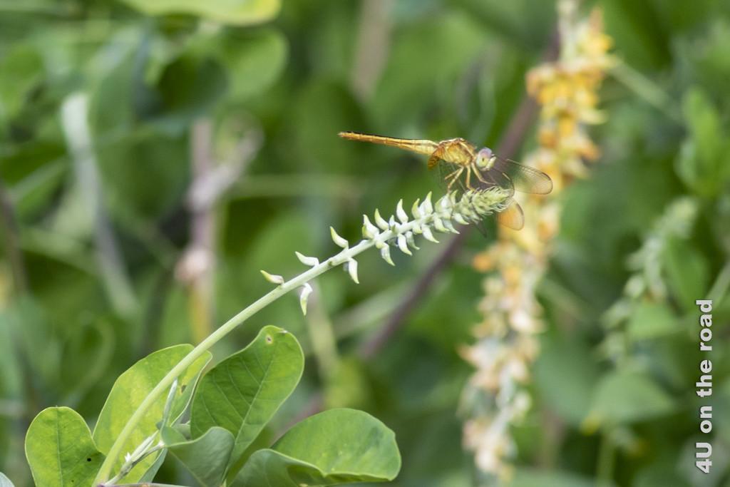 Libelle, die für einen kurzen Moment auf der Pflanze sitzt