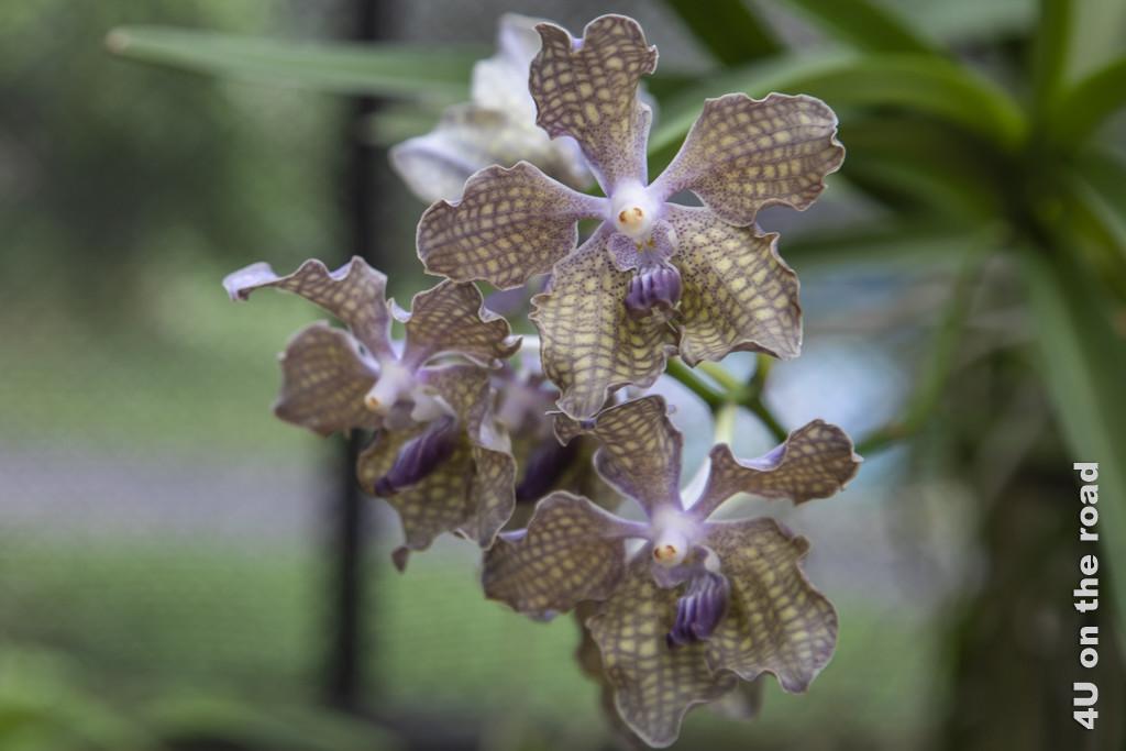Orchidee mit Schokoladenduft - Botanischer Garten Peradeniya