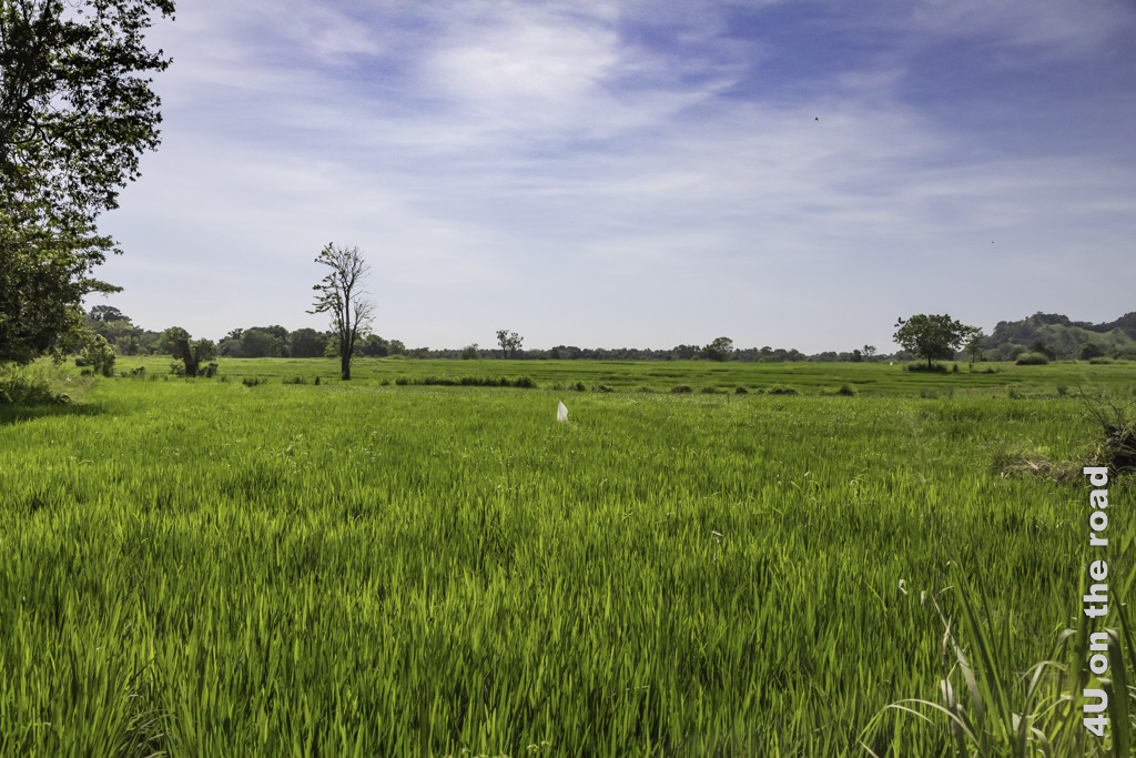 Reisfelder auf dem Weg zum Buduruwagala Tempel