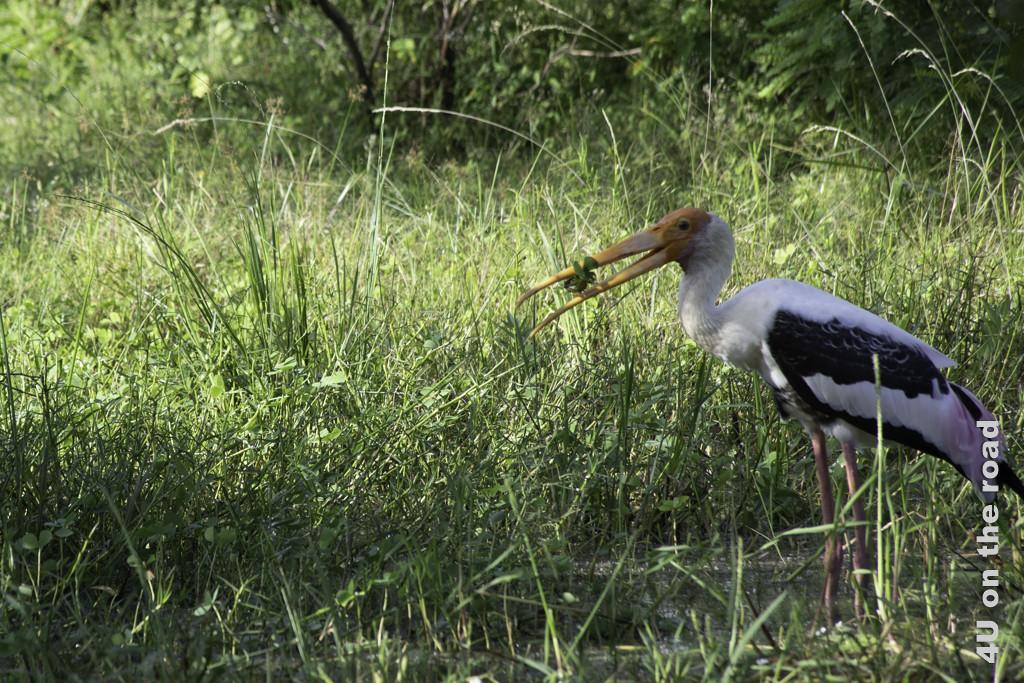 Buntstorch mit garnierter Beute im Schnabel - Yala Nationalpark