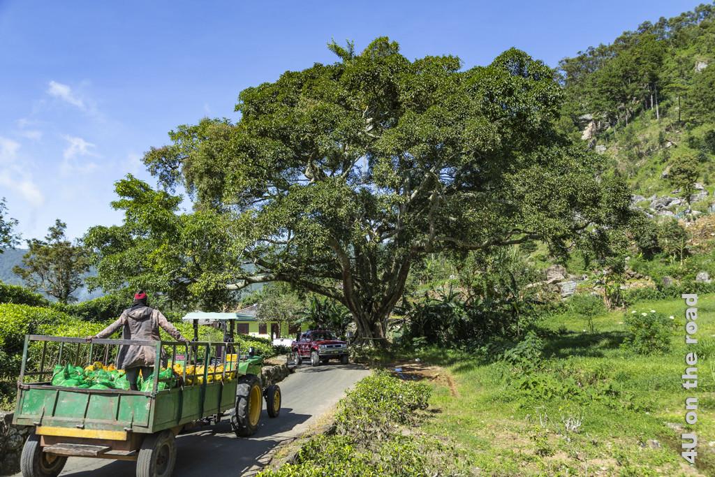 Der Traktor bringt die frisch gepflückten Teeblätter zur Dambatenne Tea Factory zur sofortigen Verarbeitung