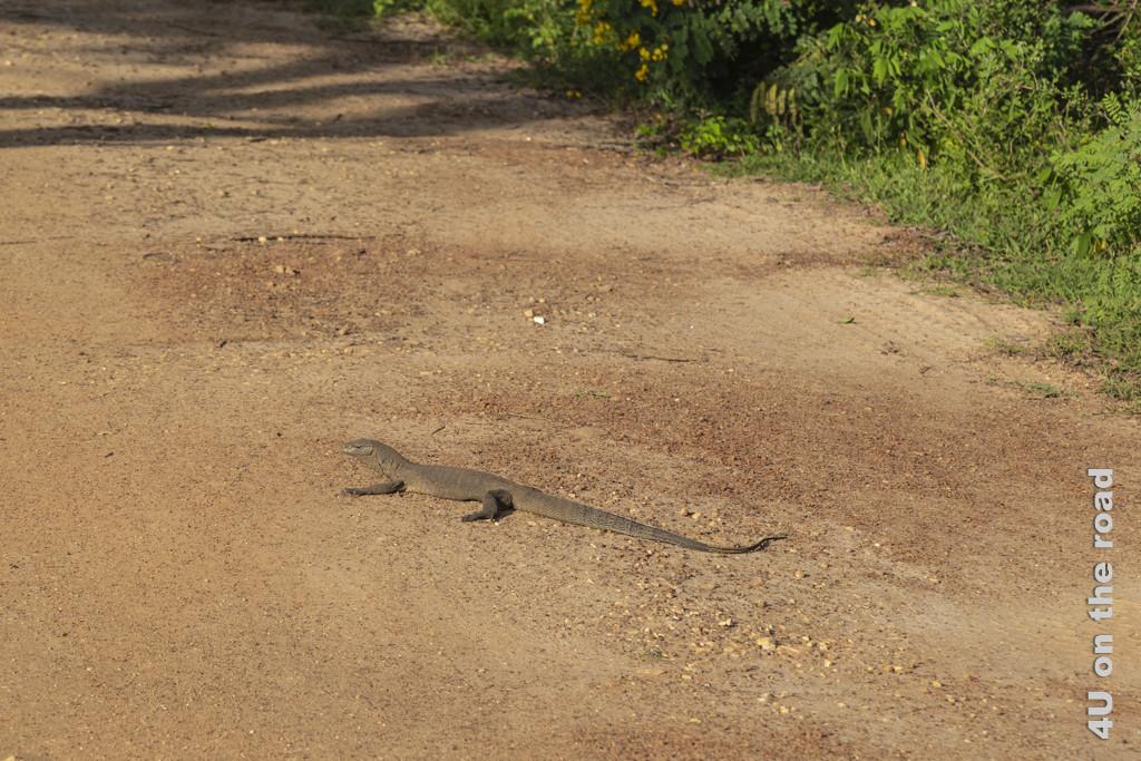 Ein Waran liegt auf dem Weg - Yala Nationalpark