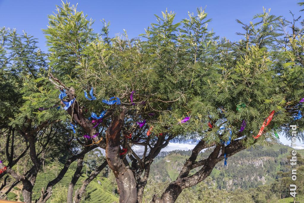 Mit Bändern weihnachtlich geschückte Bäume, so alt wie die Teeplantage.