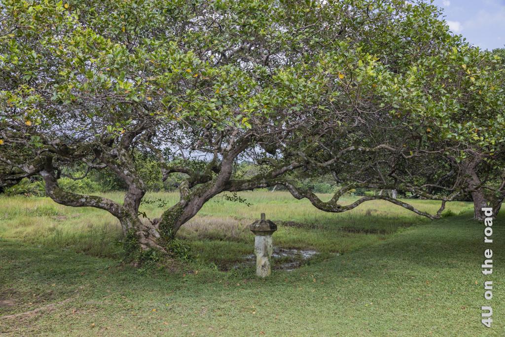 Baum vor den Reisfeldern - Lunuganga