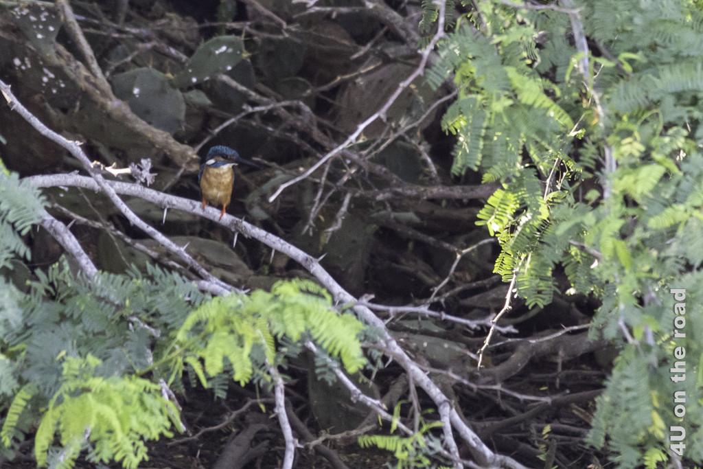 Eisvogel im Unterholz