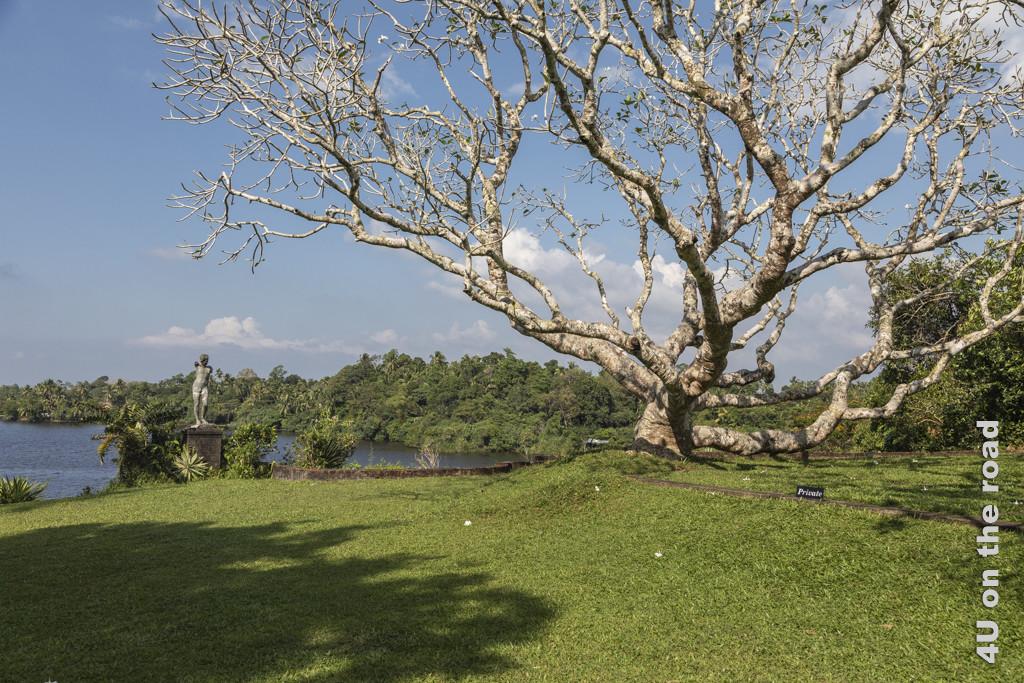 Frangipani Baum an der Terrasse vor dem Haus von Geoffrey Bawa - Lunuganga