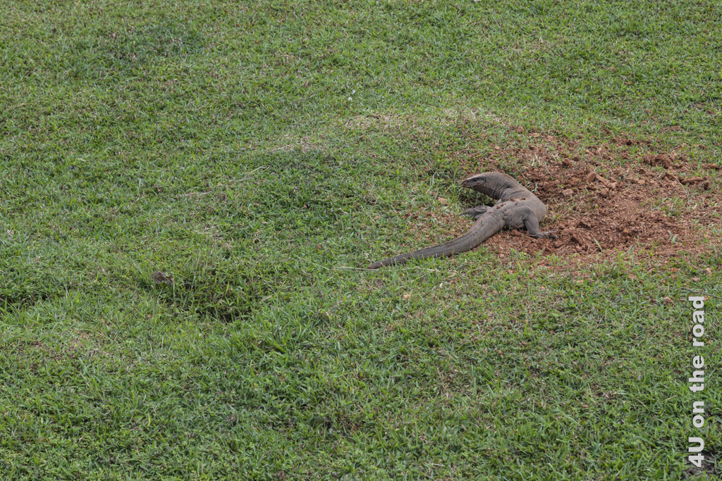 Waran beim Graben am Cinnamon Hill - Lunuganga