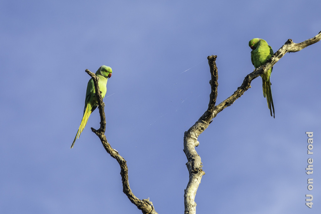 Halsband Papagei - Bundala Nationalpark