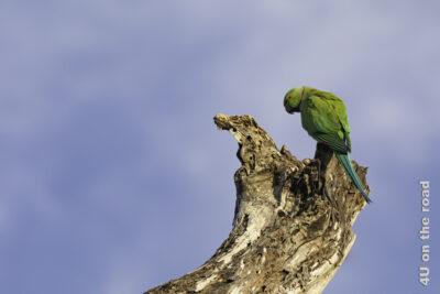 Halsband Papagei