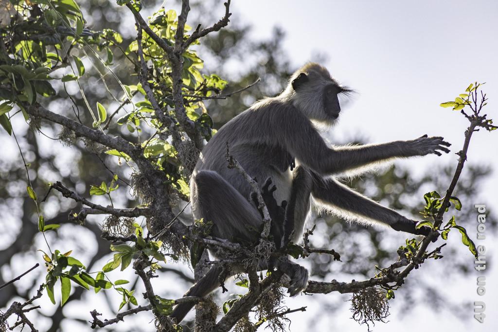 Hanuman Langur - Bundala Nationalpark
