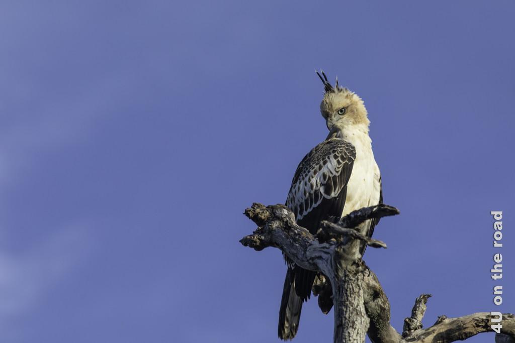 Haubenadler - Bundala Nationalpark