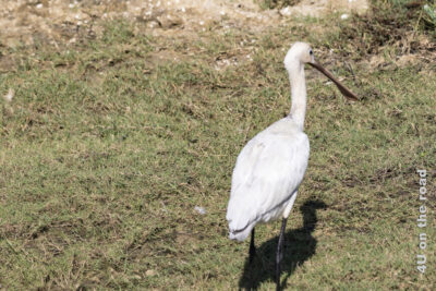 Löffler an Land - Bundala Nationalpark