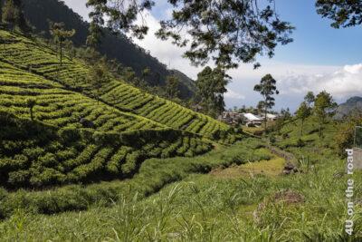 Teefelder und Siedlung auf dem Weg von Lipton's Seat