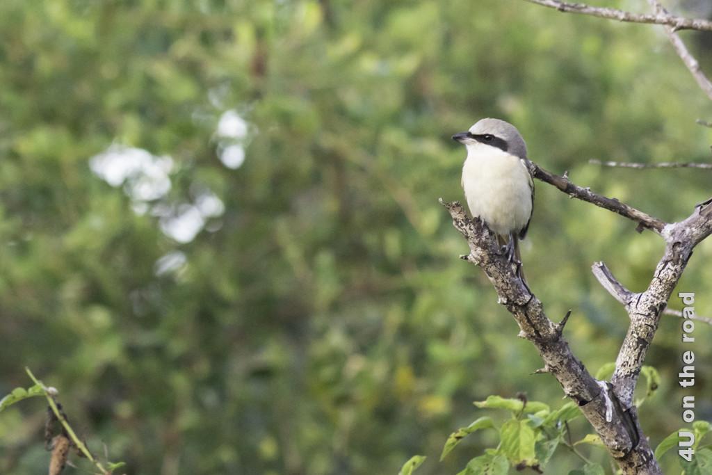 Vogel im Bundala Nationalpark (event. Vertreter aus der Familie der Stachelbürzler)