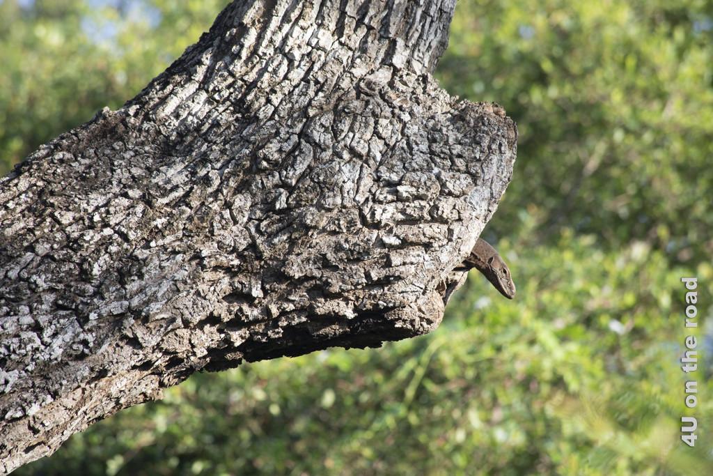Waran schaut aus seiner Baumhöhle - Bundala Nationalpark