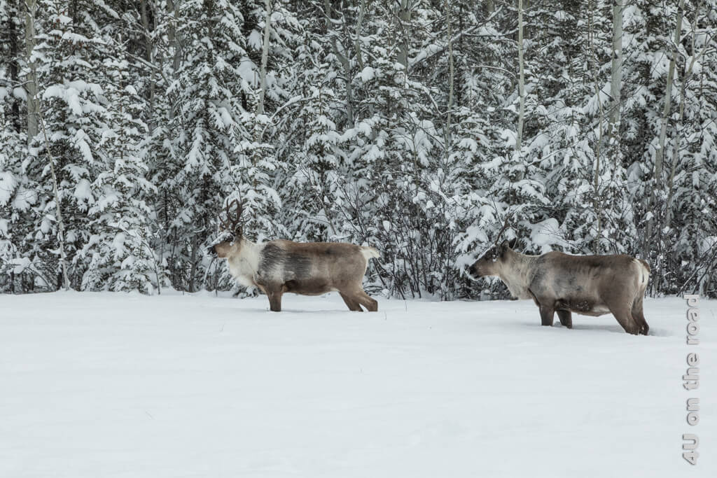 Zwei Caribous auf Nahrungssuche