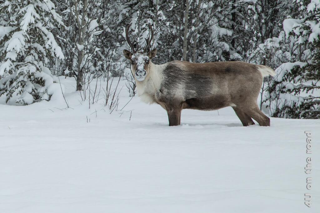 Das Caribou nimmt die Nase aus dem Schnee und schaut uns genauso interessiert an, wie wir es betrachten.
