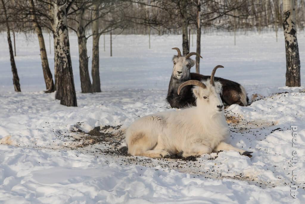 Dünnhornschafe in der Sonne - Yukon Wildlife Preserve