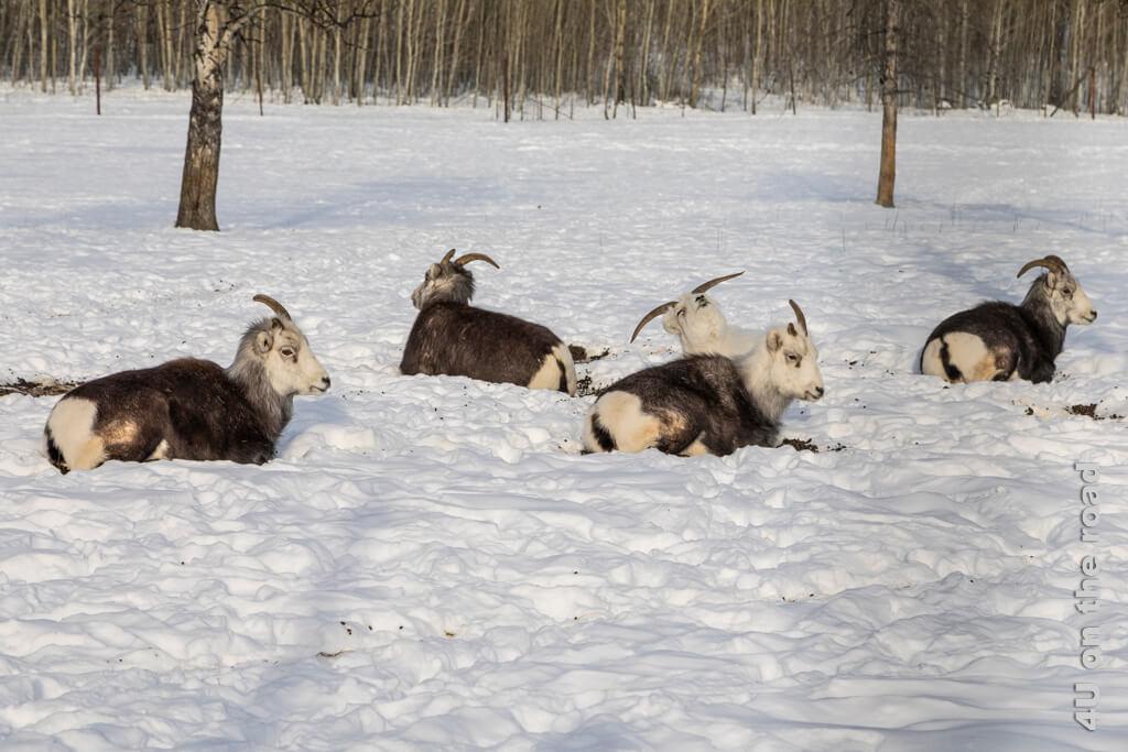 Die halbstarken Dünnhornschafe mit den abgebrochenen Hörnen sehen lustig aus - Yukon Wildlife Preserve