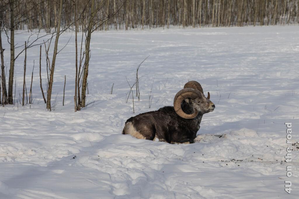 Dickhornschaf bei der Siesta - Yukon Wildlife Preserve