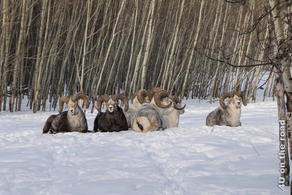 Dickhornschafe beim Sonnenbaden im Schnee - Yukon Wildlife Preserve