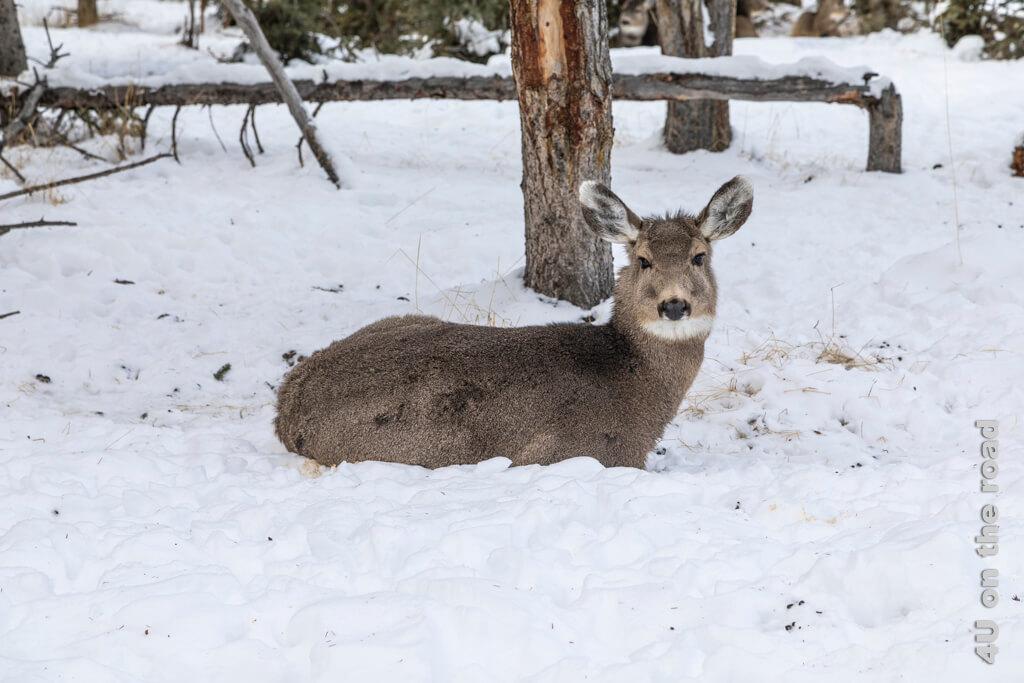 Diese Hirsche sehen zum Knuddeln aus (Whitetail Deer) - Yukon Wildlife Preserve