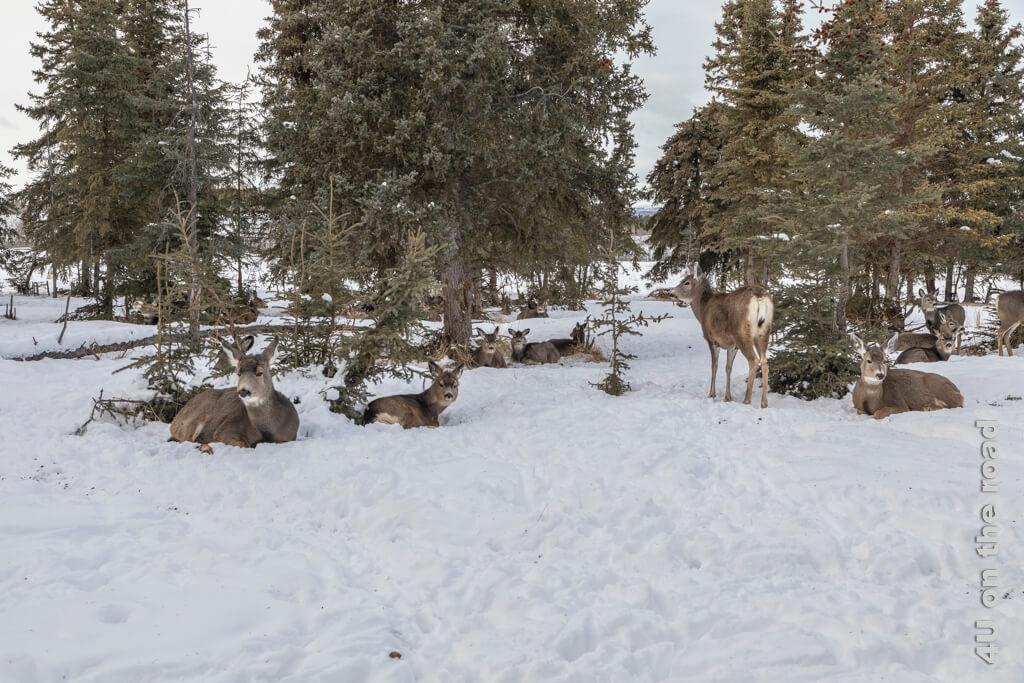 Whitetail Deer Herde - Yukon Wildlife Preserve