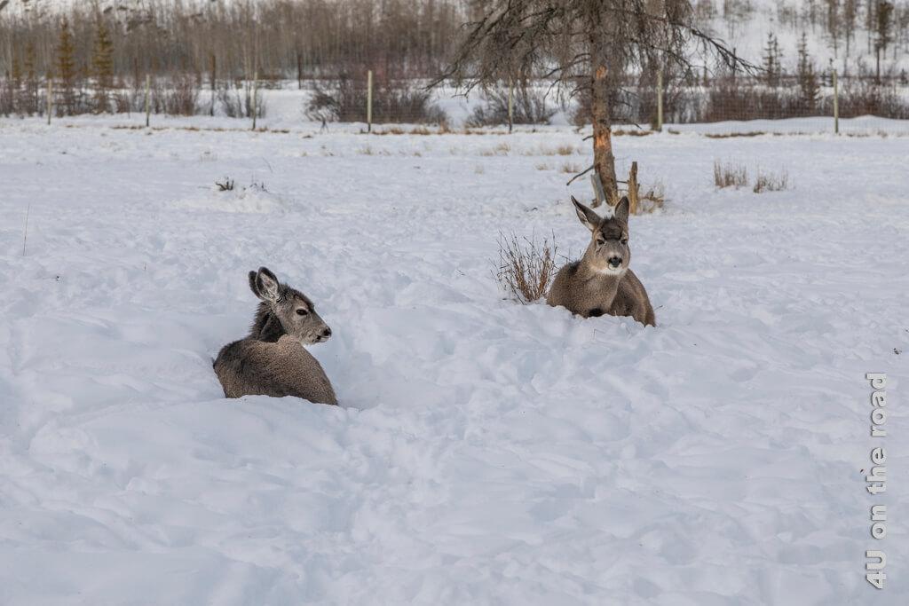 Diese Hirschkinder (Whitetaile Deer) haben es sich etwas abseits der Herde im Schnee gemütlich gemacht - Yukon Wildlife Preserve