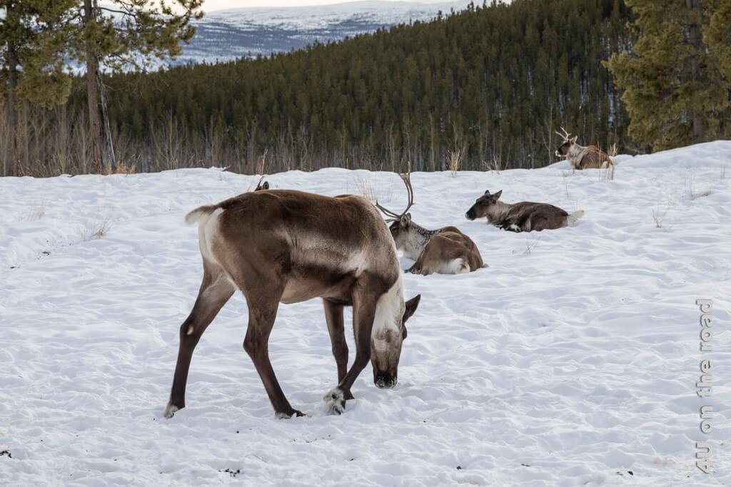 Karibus - Yukon Wildlife Preserve