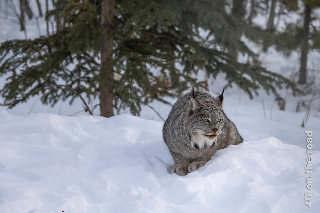 Der Luchs beobachtet aufmerksam, was die Menschen in seinem Gehege machen - Yukon Wildlife Preserve