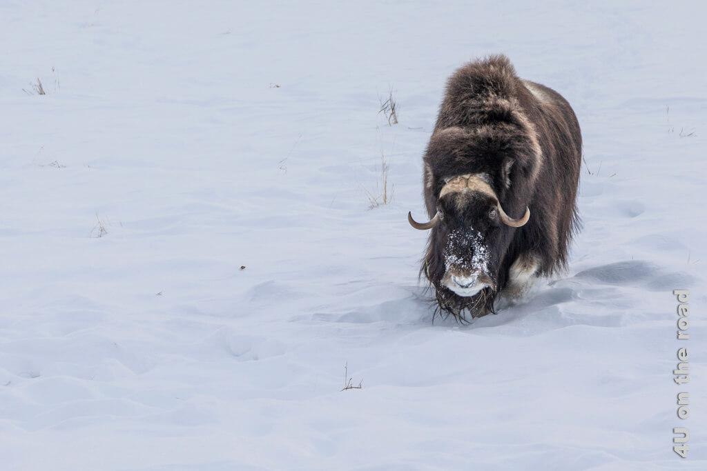 Der Moschusochse kommt zielstrebig auf uns zu gelaufen - Yukon Wildlife Preserve