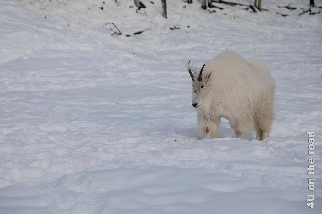 Diese Berg Ziege (Mountain Goat) trägt ein Stück Fell wie eine Trophäe am Horn - Yukon Wildlife Preserve