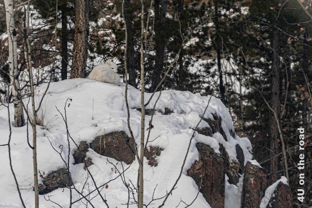 Der Polarfuchs liegt gemütlich auf dem höchsten Fels im Gehege und beobachtet die Umgebung - Yukon Wildlife Preserve