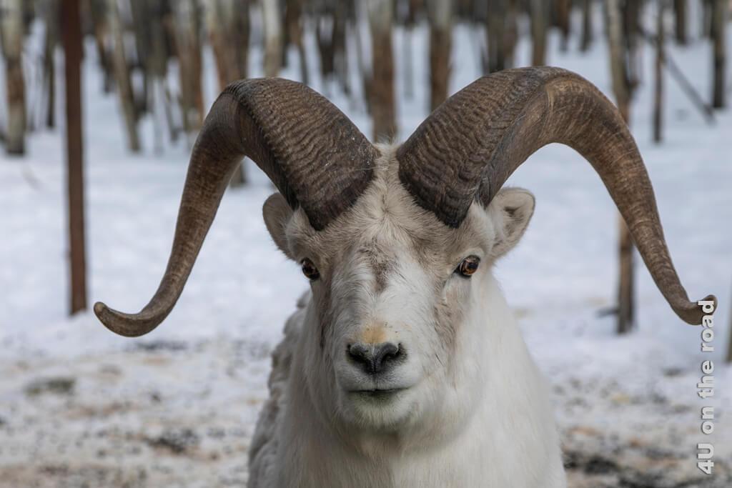 Juveniles männliches Dickhornschaf hat interressiert die Kamera beobachtet - Yukon Wildlife Preserve