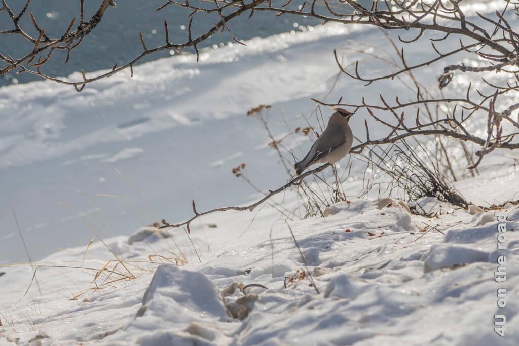 Seidenschwanz am Ufer des Yukon - Millennium Trail Whitehorse