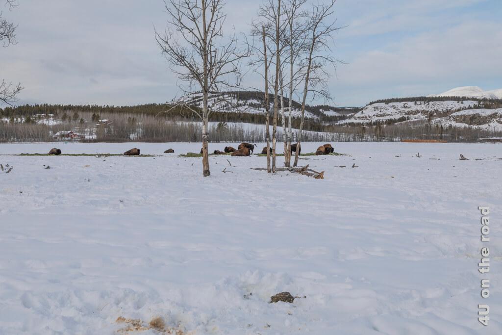 Die Waldbisons leben in einem grossen Gehege - Yukon Wildlife Preserve