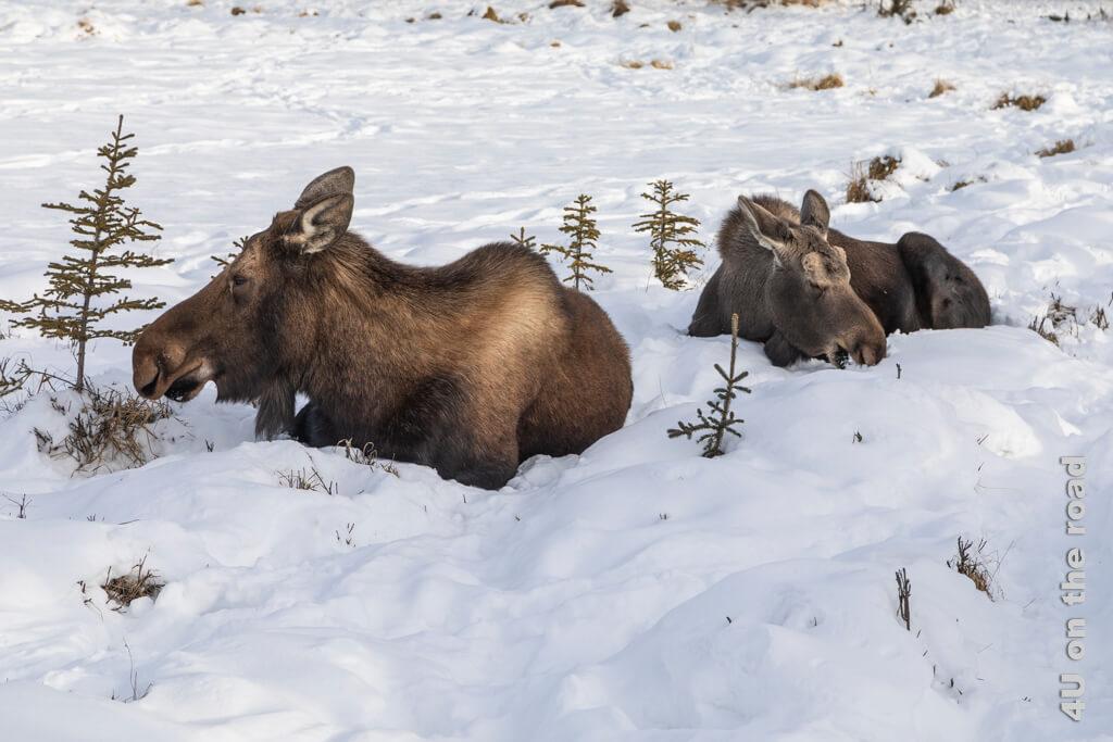Die Elchkuh und ihr 7 Monate alter Sohn Watson - Yukon Wildlife Preserve