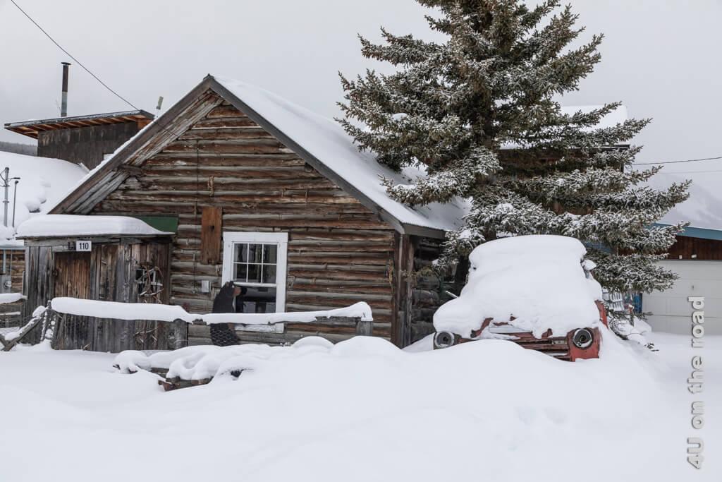 Der Bär schaut ins Fenster der Watson Cabin - Carcross