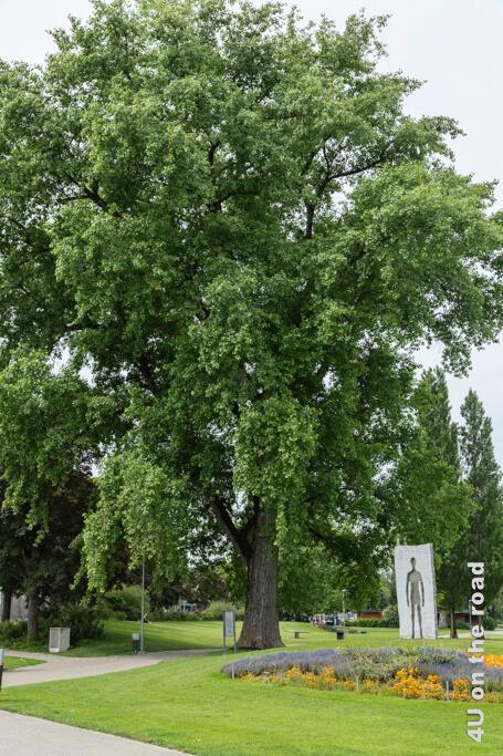 Alte Bäume im Park an der Seepromenade - Rorschach