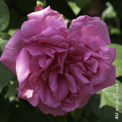 Rose Rapperswil