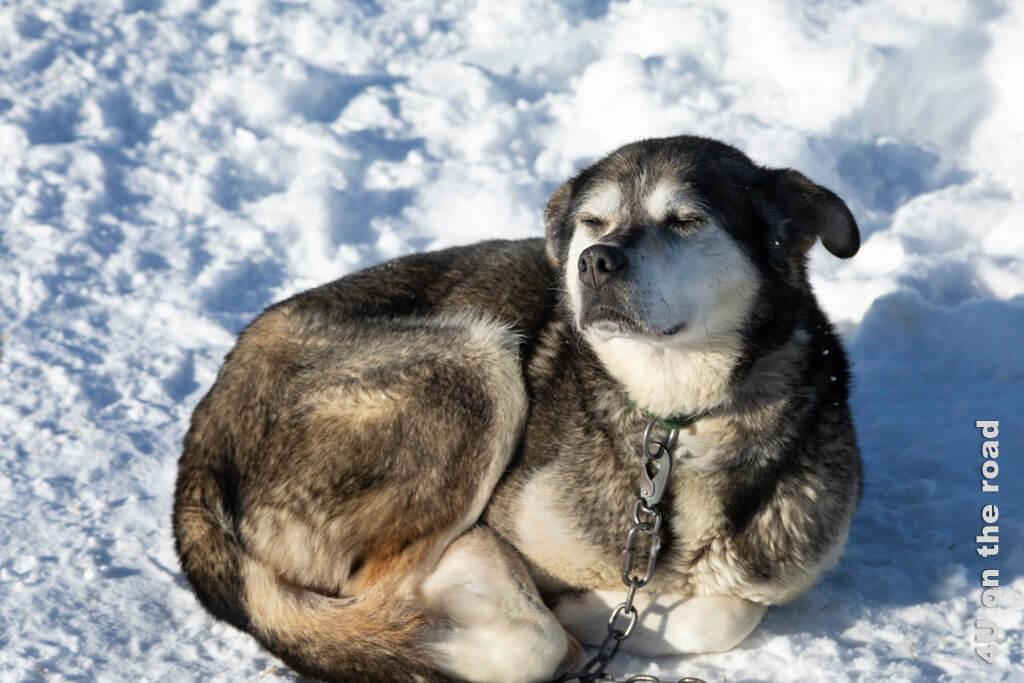 Dieser Husky geniesst die Sonne vor seiner Hütte.