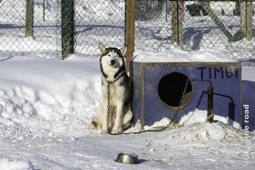 Timbi ist der kuscheligste Husky von allen. Morgaine ist heute noch traurig, dass wir ihn nicht adoptiert haben.