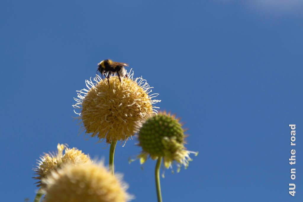 Kugelblüte mit Biene im Botanischen Garten Zürich
