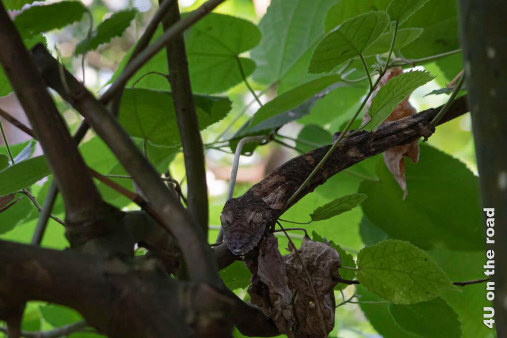 Es gehört schon ein wenig Glück dazu, um bei einem Ausflug in den Zoo Zürich einen Blattschwanzgecko in der Masoala Halle zu entdecken.