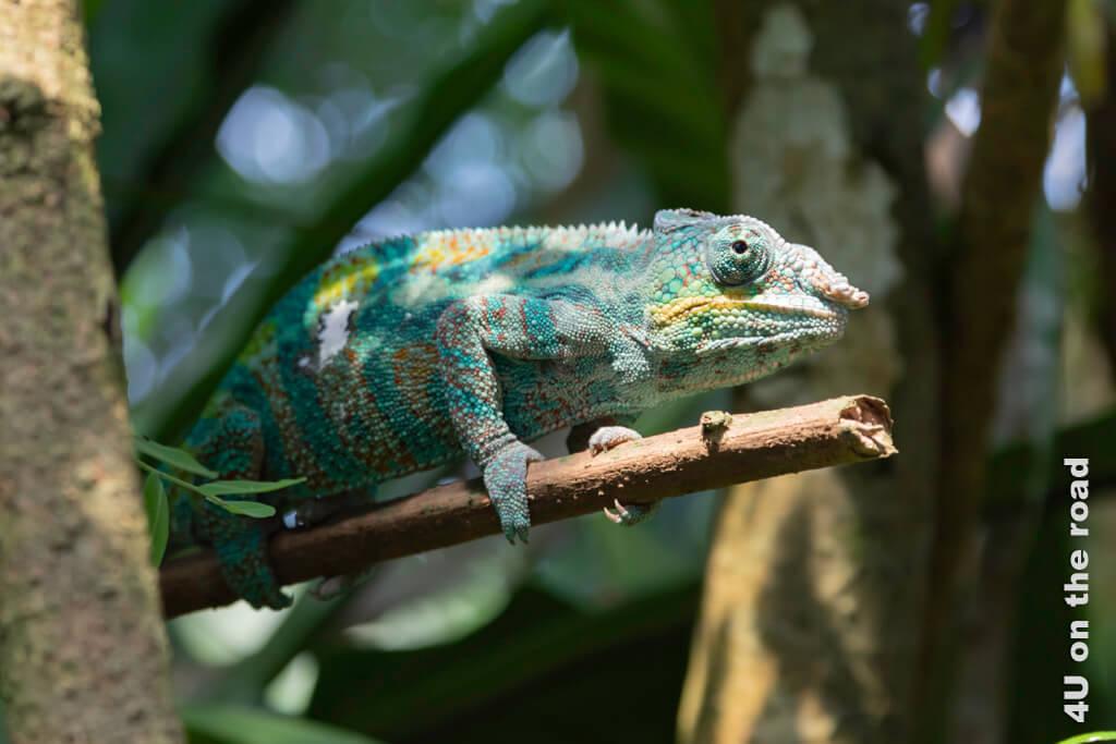 Die Farbgebung dieses männlichen Pantherchamäleona deutet auf ein entspanntes Chamäleon hin. Die Freiwilligen Helfer in der Masoala Halle beantworten bereitswillig alle Fragen der Besucher.