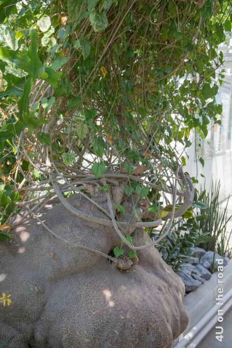 Die Dioscorea-Elephantipes ist ein Yamswurzelgewächs. - Sukkulentensammlung Zürich