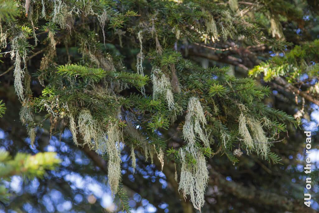 Flechten in den Nadelbäumen - Toggenburger Sagenweg